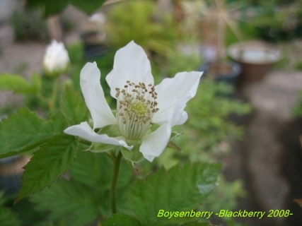 boysenberry _blackberry_05.jpg