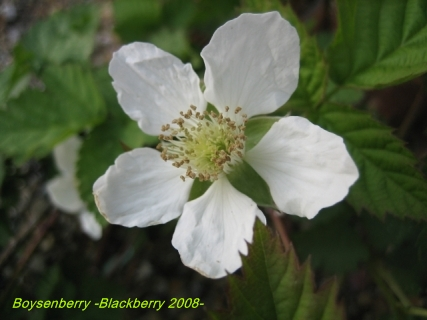 boysenberry _blackberry_07.jpg