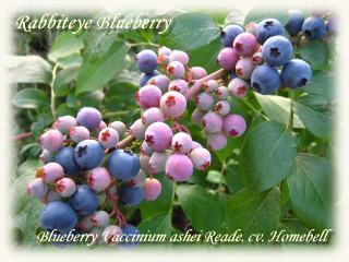 blueberry_homebell03b