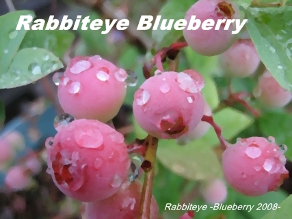 rabbiteye_blueberry_01