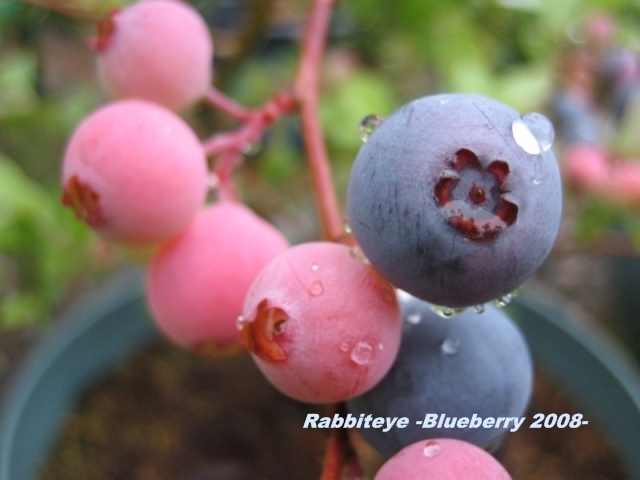 rabbiteye_blueberry_06.jpg