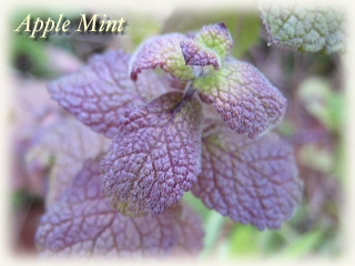 winter_applemint04.jpg