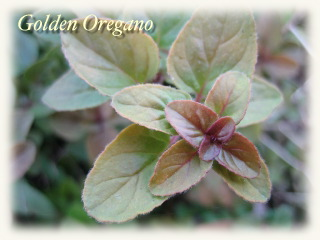 winter_goldenoregano06.jpg