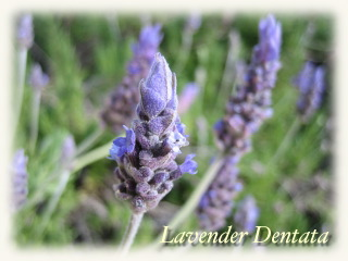 winter_lavender08.jpg