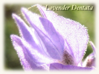 winter_lavender08b.jpg