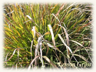 winter_lemongrass09.jpg
