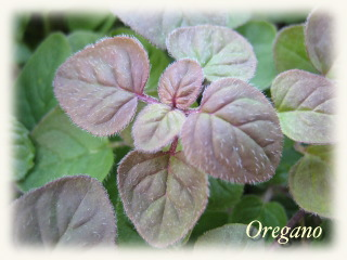 winter_oregano05.jpg
