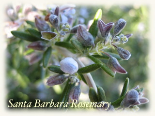 winter_rosemary07.jpg