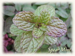 winter_spearmint03.jpg