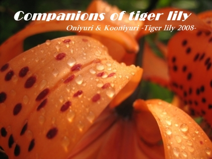 tiger_lily_2008_01s.