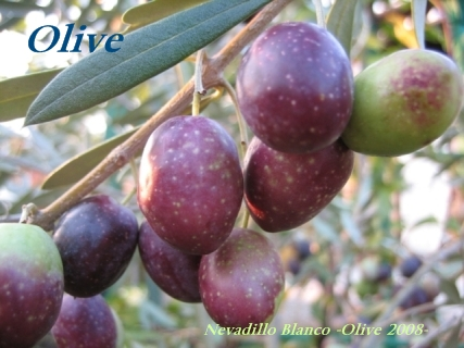 nevadillo_blanco_olive_01s