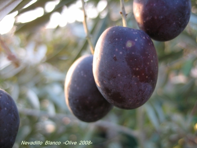 nevadillo_blanco_olive_02