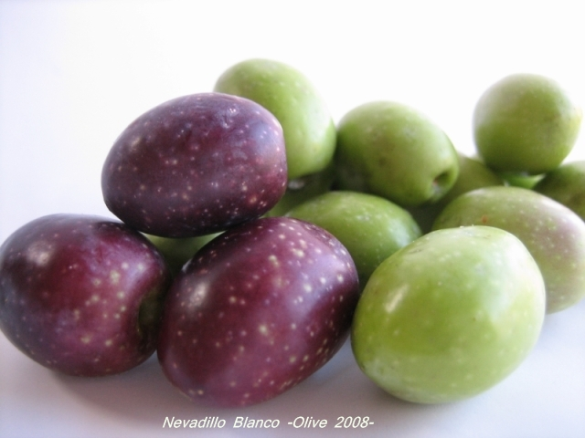 nevadillo_blanco_olive_03