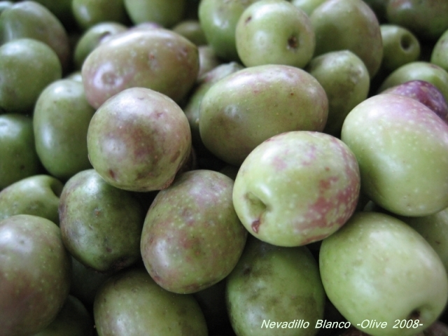 nevadillo_blanco_olive_04