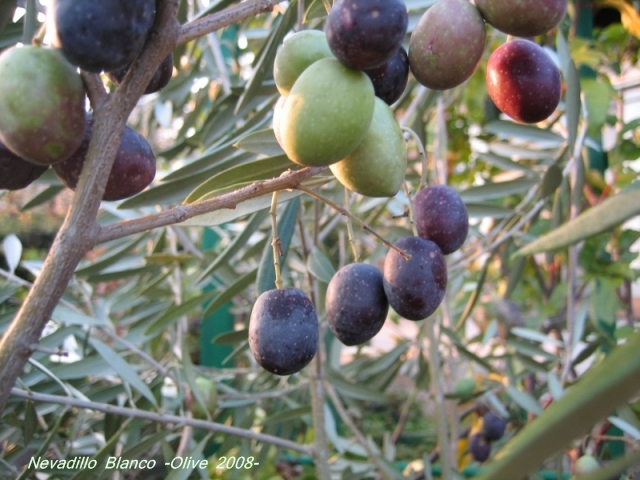 nevadillo_blanco_olive_05