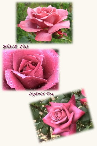 rose_black_tea02c.jpg